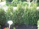 Zimzelene  sadnice za hortikulturno ure�enje