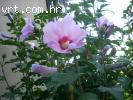 Sirijski hibiscus