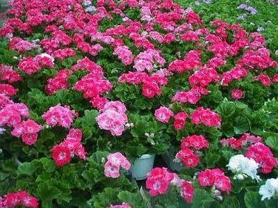 cvijece-uvoz.jpg