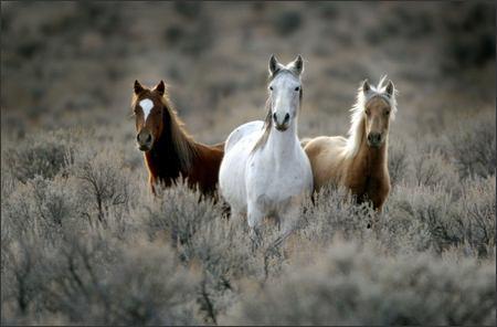 divlji-konji.jpg